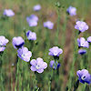 Flax Linseed